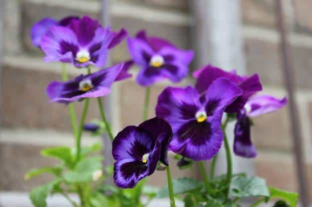 Growing Pansy Flower From Seeds Garden Season Guide Https Gardenseason Com Growing Pansy Flower Pansies Flowers Pansies Garden Netting