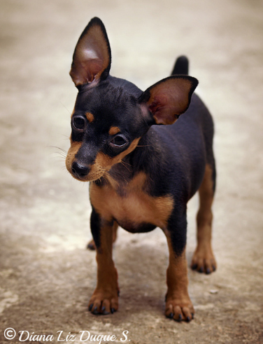 Min Pin Puppy Min Pin Puppies Mini Pinscher Cute Animals