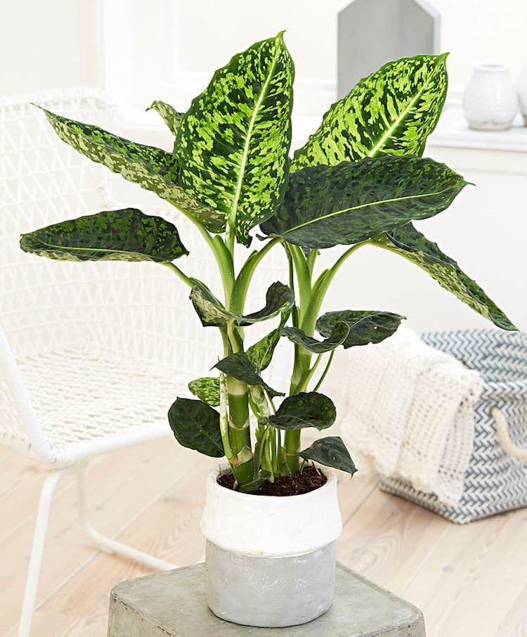 Schöne Zimmerpflanzen Bunte Blätter Dieffenbachia Schnittblumen