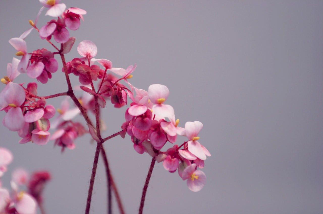 Pink Flowers Flowers Pink Flowers 720p Wallpaper Hdwallpaper Desktop Pink Flowering Trees Pink Flowers Cherry Blossom Flowers Hd wallpaper flower pink bloom plant