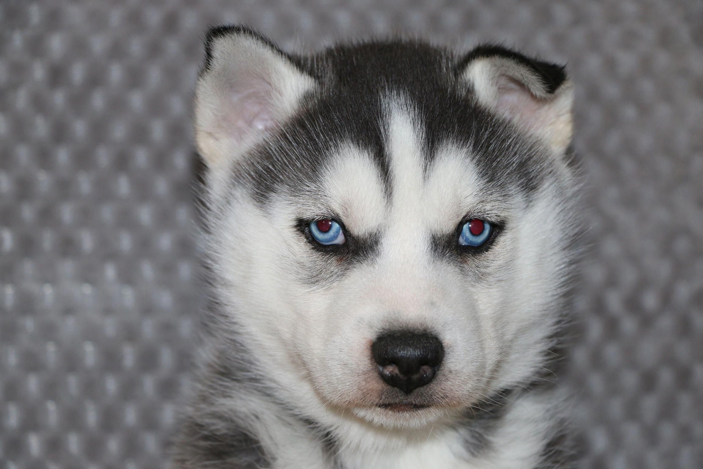 Idea By Keto Diet On Pin 1 Siberian Husky Husky Puppies For