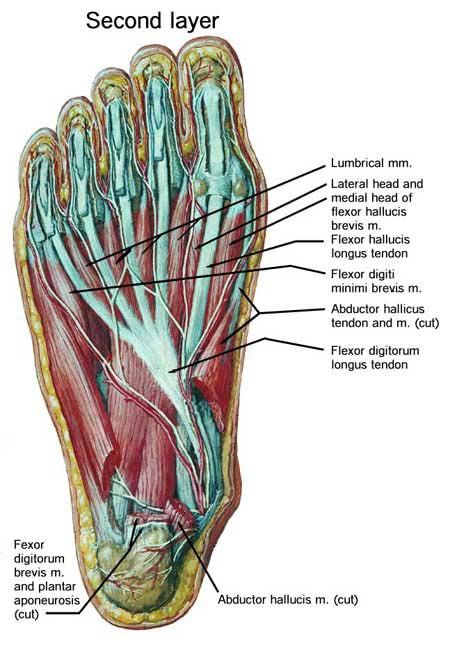 Foot Structure Diagram Wiring Diagram