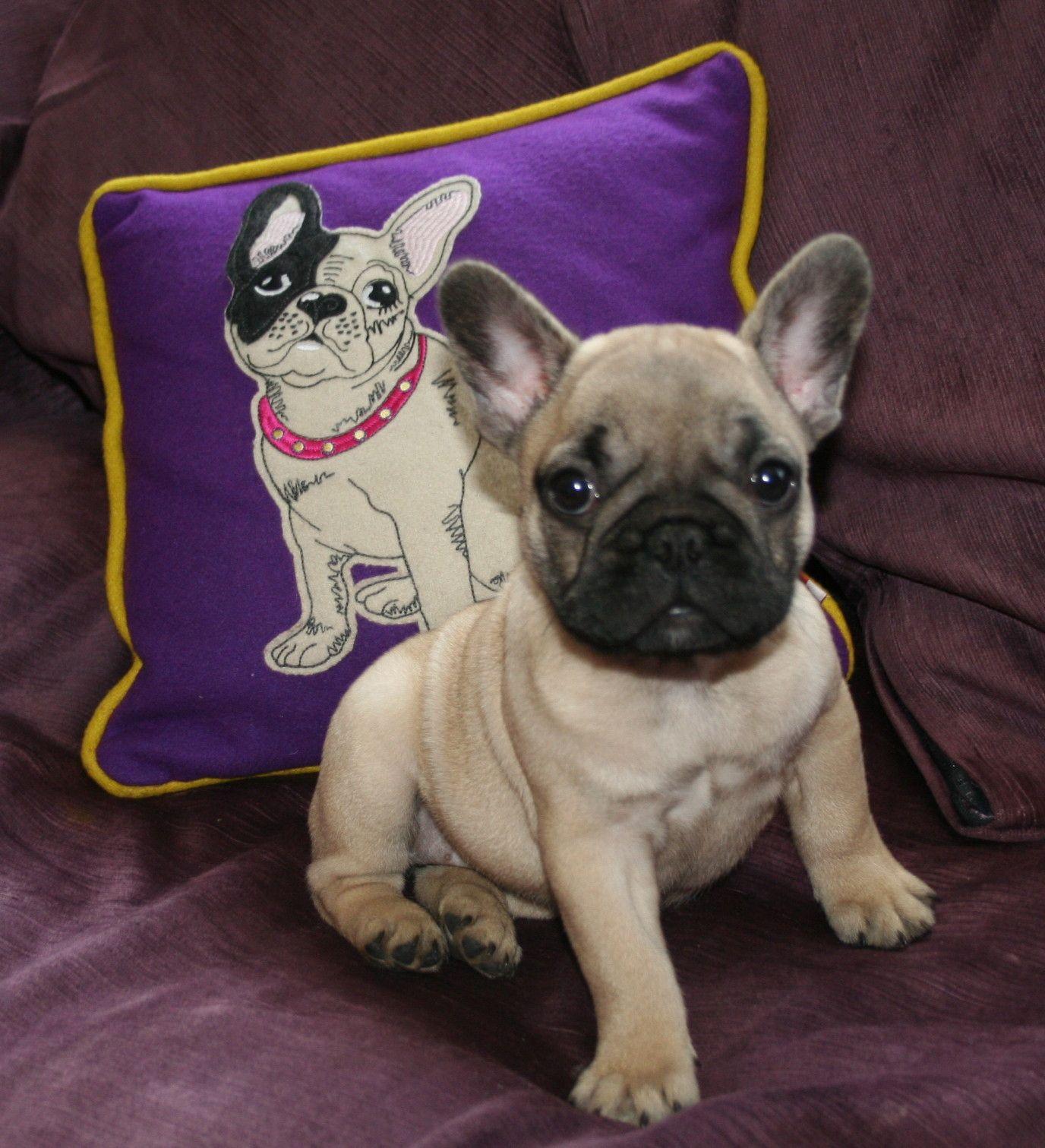 Bobiso Dogue De Bordeaux Bulldogs Greta French Bulldog