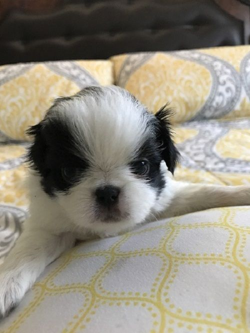 Japanese Chin Puppy For Sale In Salem Or Adn 43353 On
