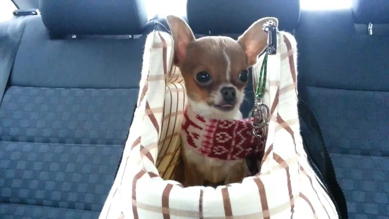 Chihuahua Cries Soo Sweet Youtube Chihuahua Puppies