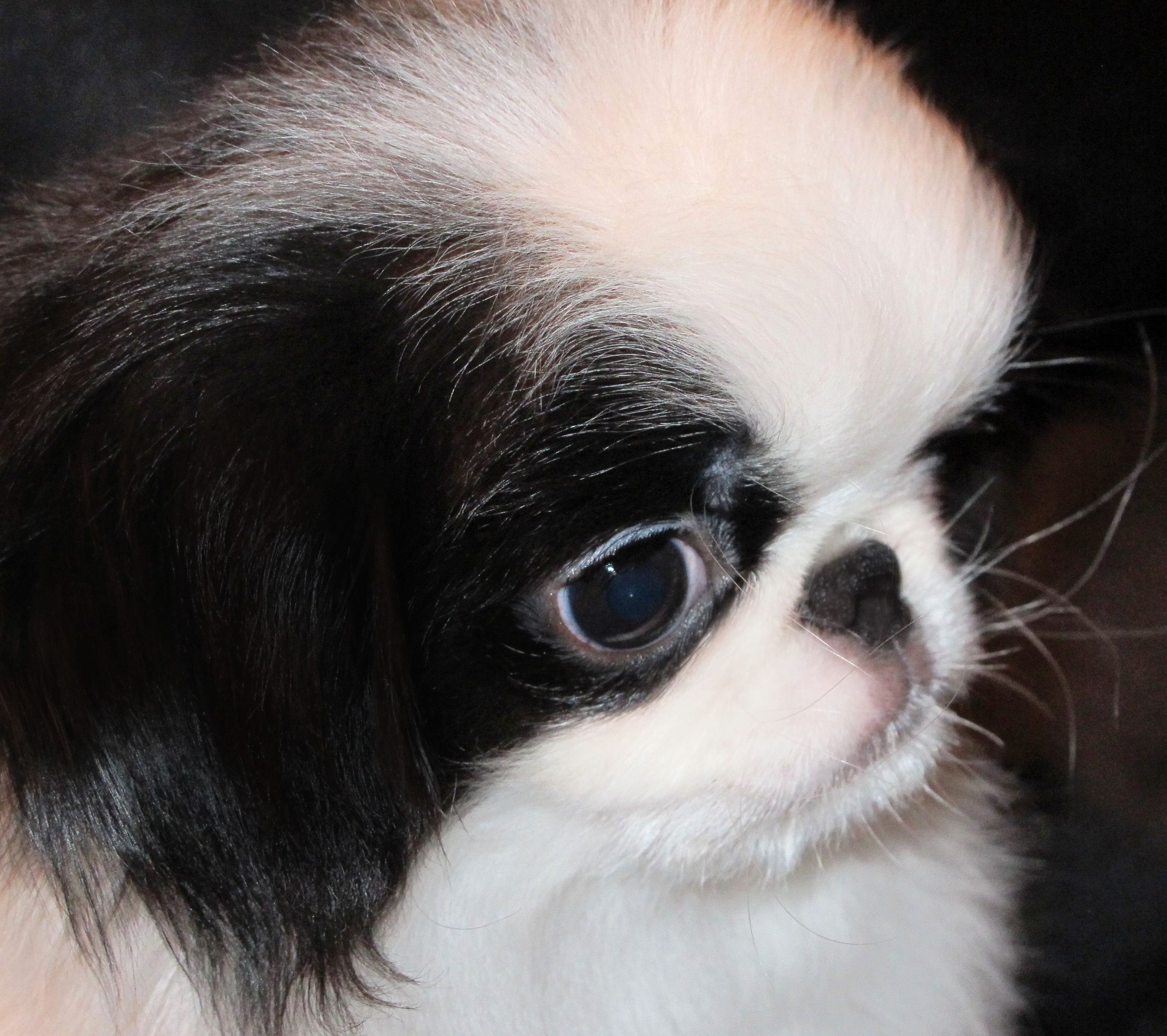 Japanese Chin Puppies for Sale Japanese chin puppies