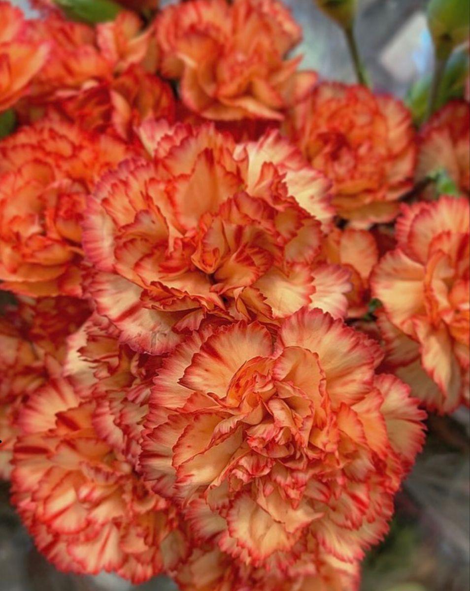 Carnation Flower In 2020 Carnation Flower Flowers For Sale Wholesale Flowers