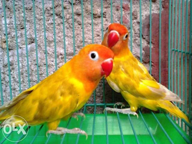 African Lovebirds Eyering Dominant Pied For Sale Philippines Find New And Used African Lovebirds Eyering Dominant Pied O African Lovebirds Love Birds African