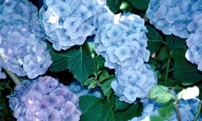 Cuidados de las hortensias para el hogar cuidado de - Hortensias cuidados poda ...