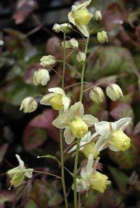 Elfenblume x /' Sulphureum /' Epimedium versicolor
