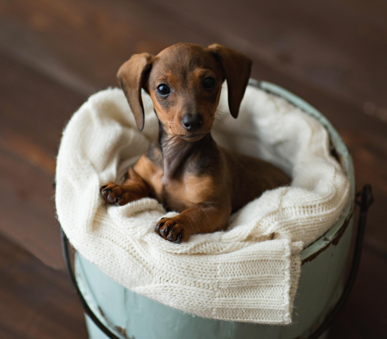 Dachshund puppies are the best Dachshund puppies