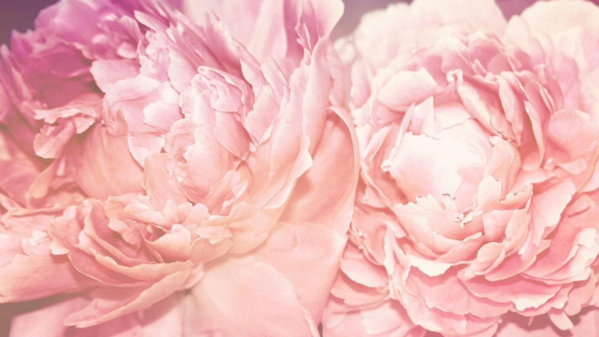 Peony Wallpapers Free Download Wallpapers Backgrounds Images Art Photos Peony Wallpaper Peonies Wallpaper Free Download