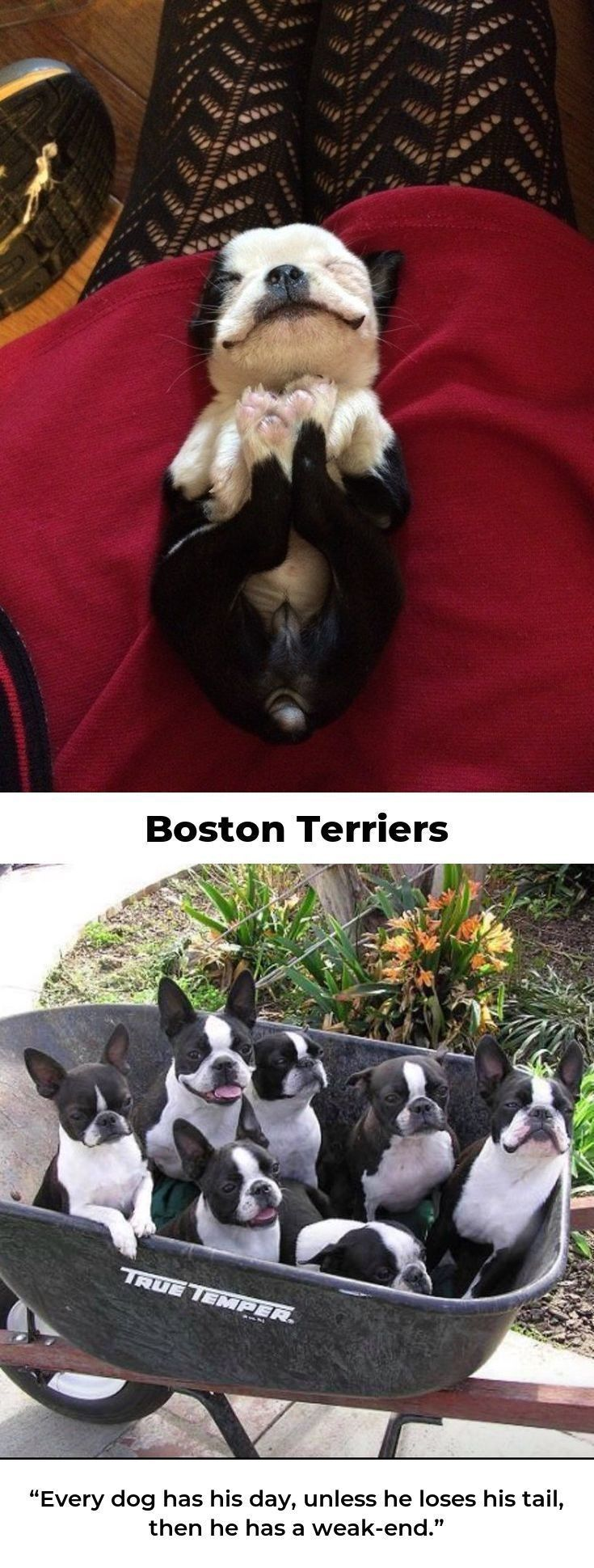 Boston Terrier Love bostonterrieroftheday