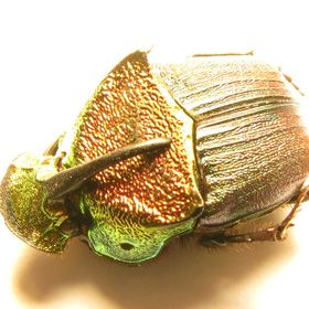 Metallic Dung Beetle (Phanaeus vindex) Cape Giradardeau, Missouri   This beetle is metallic green with a purple thorax and a gold head. Most metallic beetles are green, but they come in all different colors including gold, silver, blue, red, and purple. Some of these beetles are very expensive.