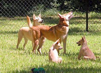 Carolina Dog Dog Breed Information Dog Breeds Dogs Dog Pictures