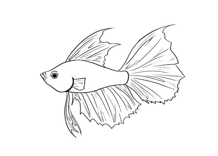 Betta Fish Coloring Pages 259 | Free Printable Coloring Pages ...