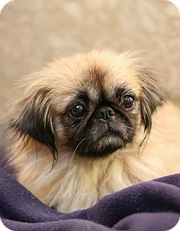 I Would Have A Tough Time Saying No To This Face Pekingese Mix