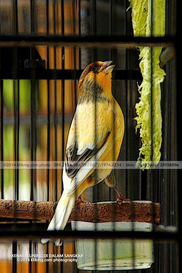 Burung Kenari Kuning Di Dalam Sangkar Photography Fotografia Fotografie Photoshoot Photograph