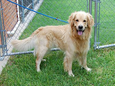 Adopted Trager Male Golden Retriever Meet Him At The