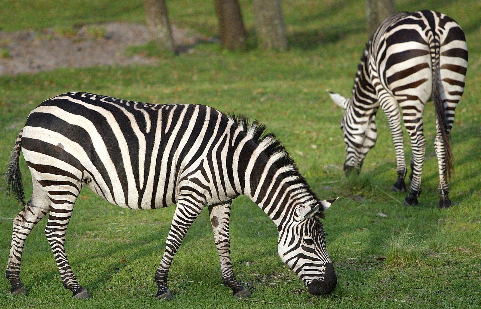 zebra species images zebras zebras amazing facts animals