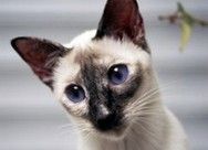 Lilac Point Siamese Cats Siamese Kittens Siamese Cats Blue Point Cat Colors