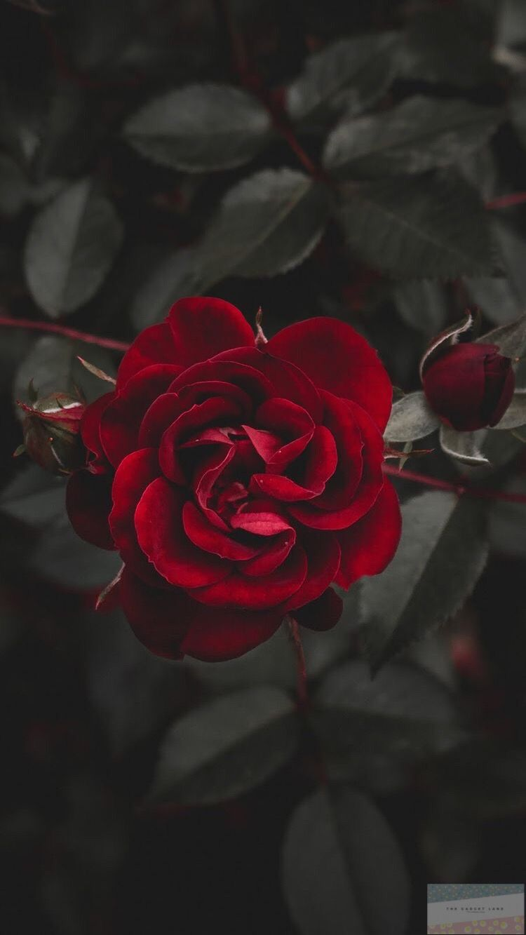 Black Theme Wallpaper Iphone Android Rose Flower Wallpaper Wallpaper Iphone Roses Preppy Wallpaper