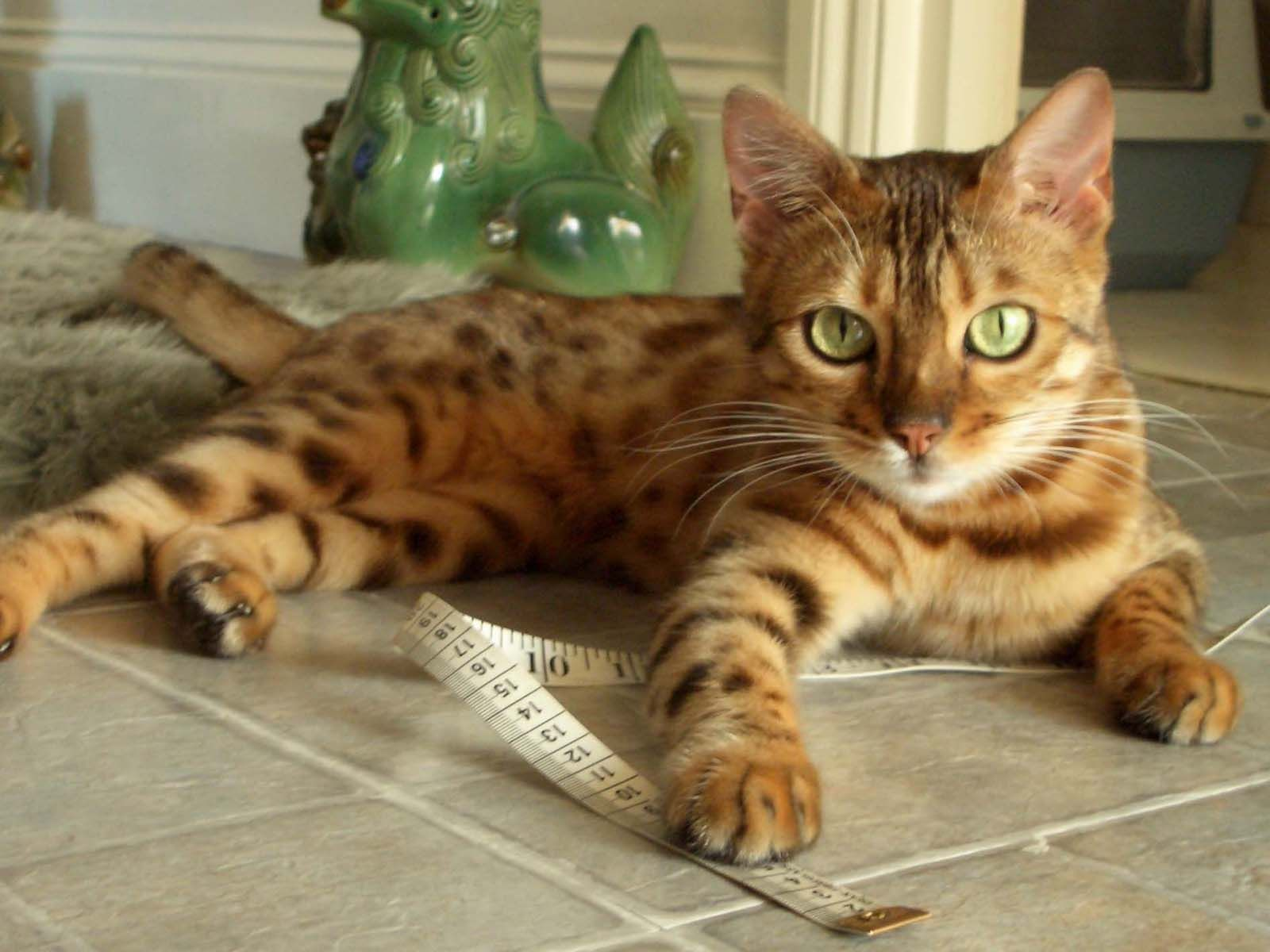 Bengal Cat Kittens Breed is a domestic cat breed developed to look ...