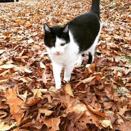 Lost Cat Westwood Drive Pickerel Lake Drive Hide This Posting Hi I Lost My Lost Cat Police Canine Your Dog