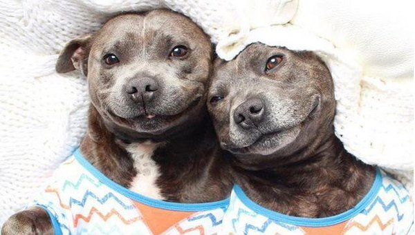 Twitter Pitbull Hund Hunde Susseste Haustiere