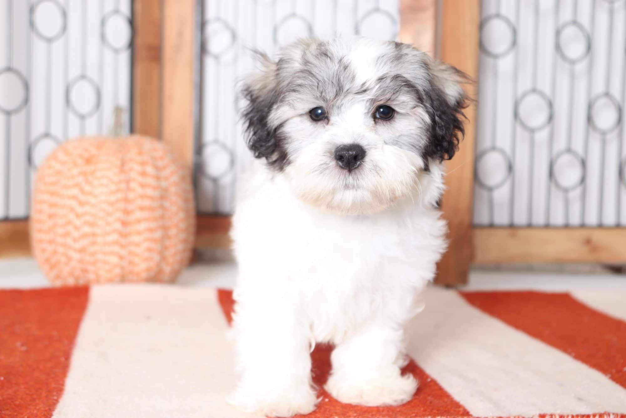 Patches Fun Little Male Teddy Bear Puppy (With images