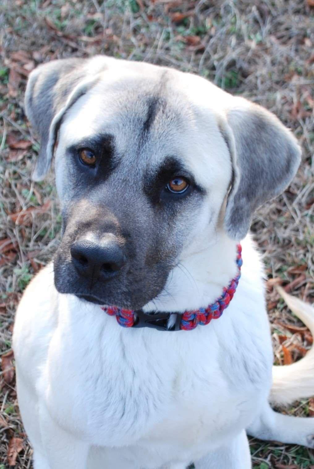 Adopt Harvey On Lap Dogs Dogs Shepherd Mix Dog
