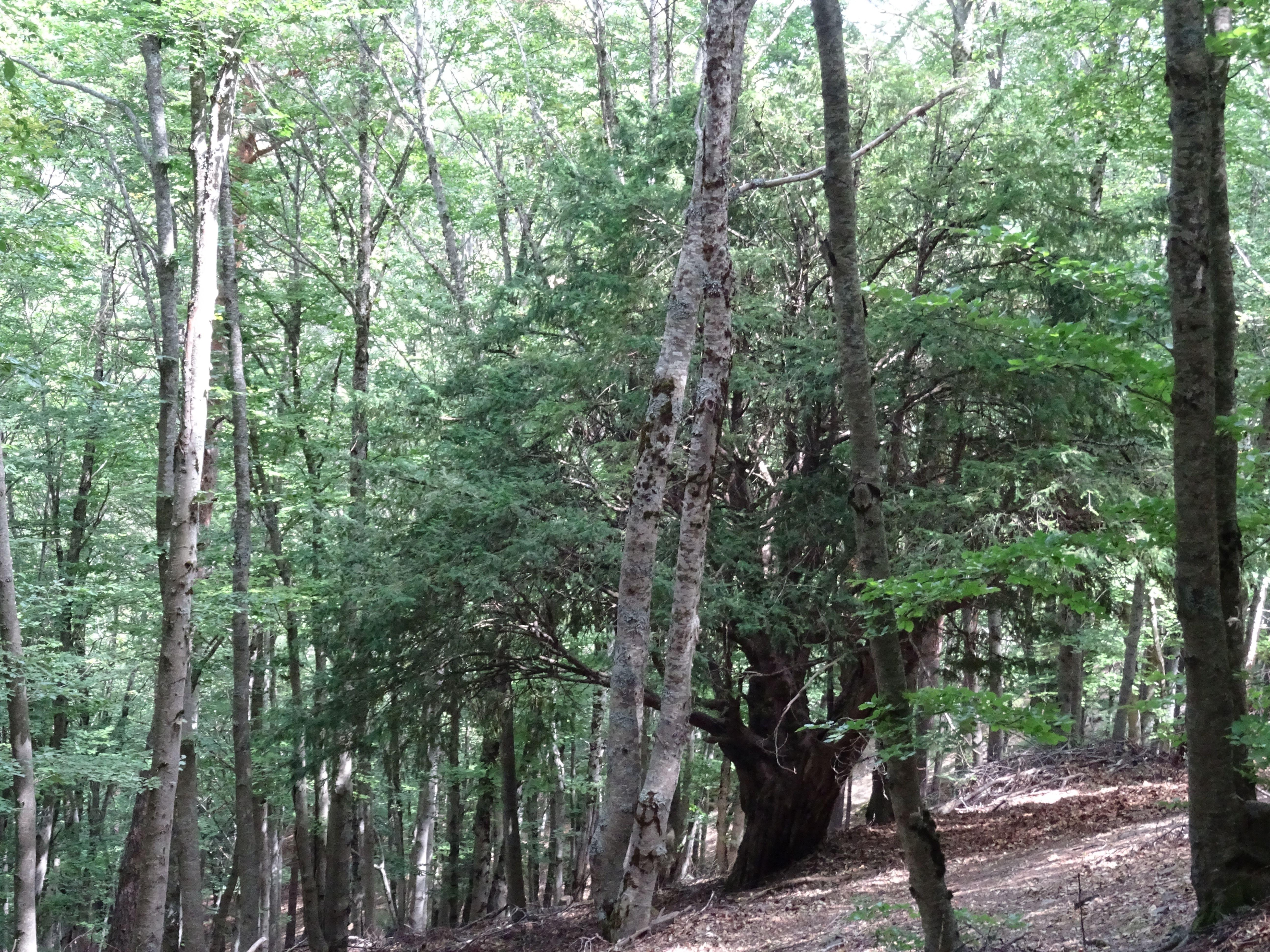 Un tejo aparece entre las hayas, destaca lo oscuro de sus ramas, es un árbol precioso