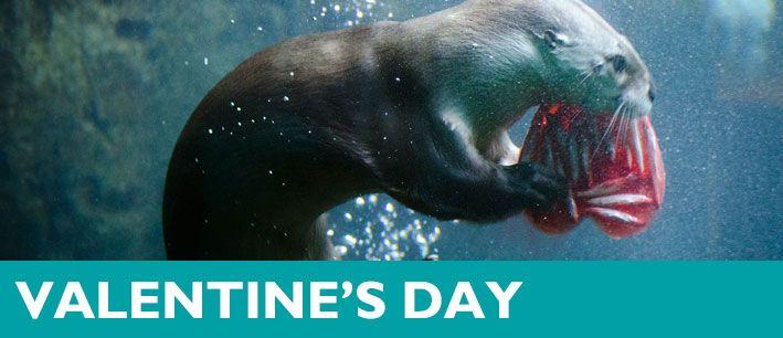 Valentines Day Enrichment Woodland Park Zoo Zoo Seattle Valentines