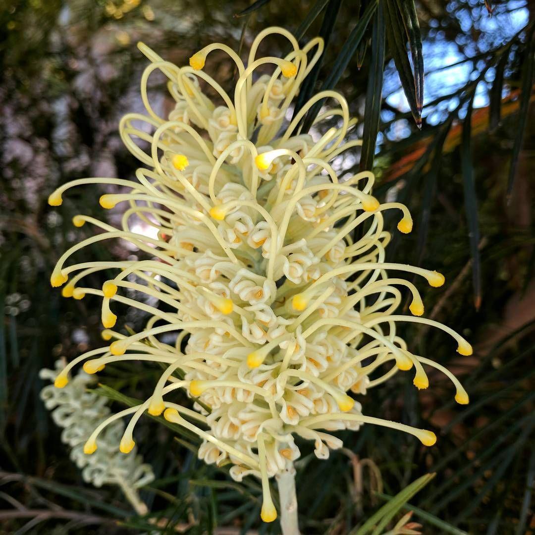 grevillea flower australia nature Flowers australia