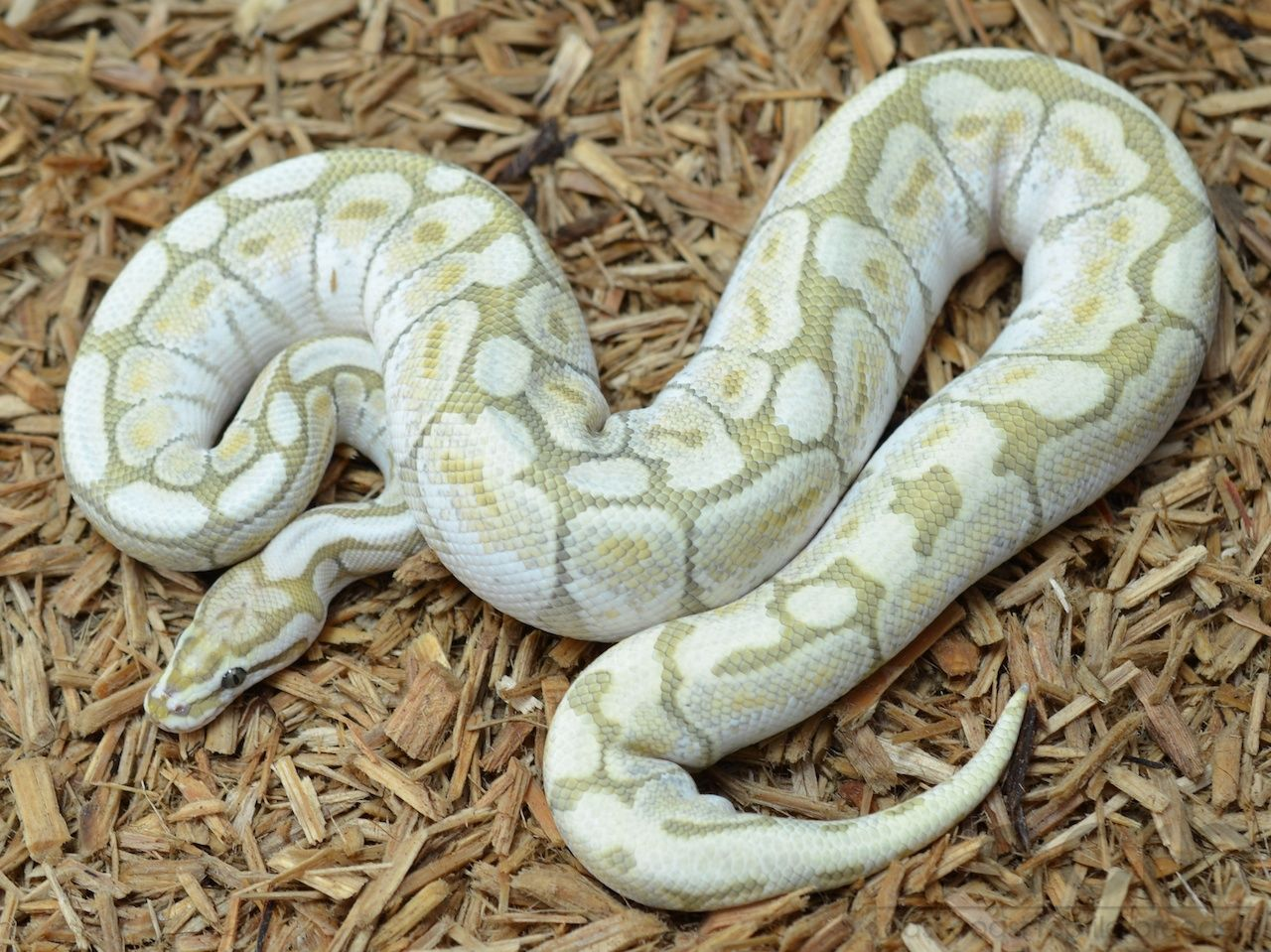 East Coast Reptile Breeders – Ghost Butter Bee Ball Python – Breeder