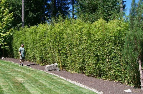 Clumping Bamboo Hedge Garden Privacy Fence Ideas Plants Landscaping