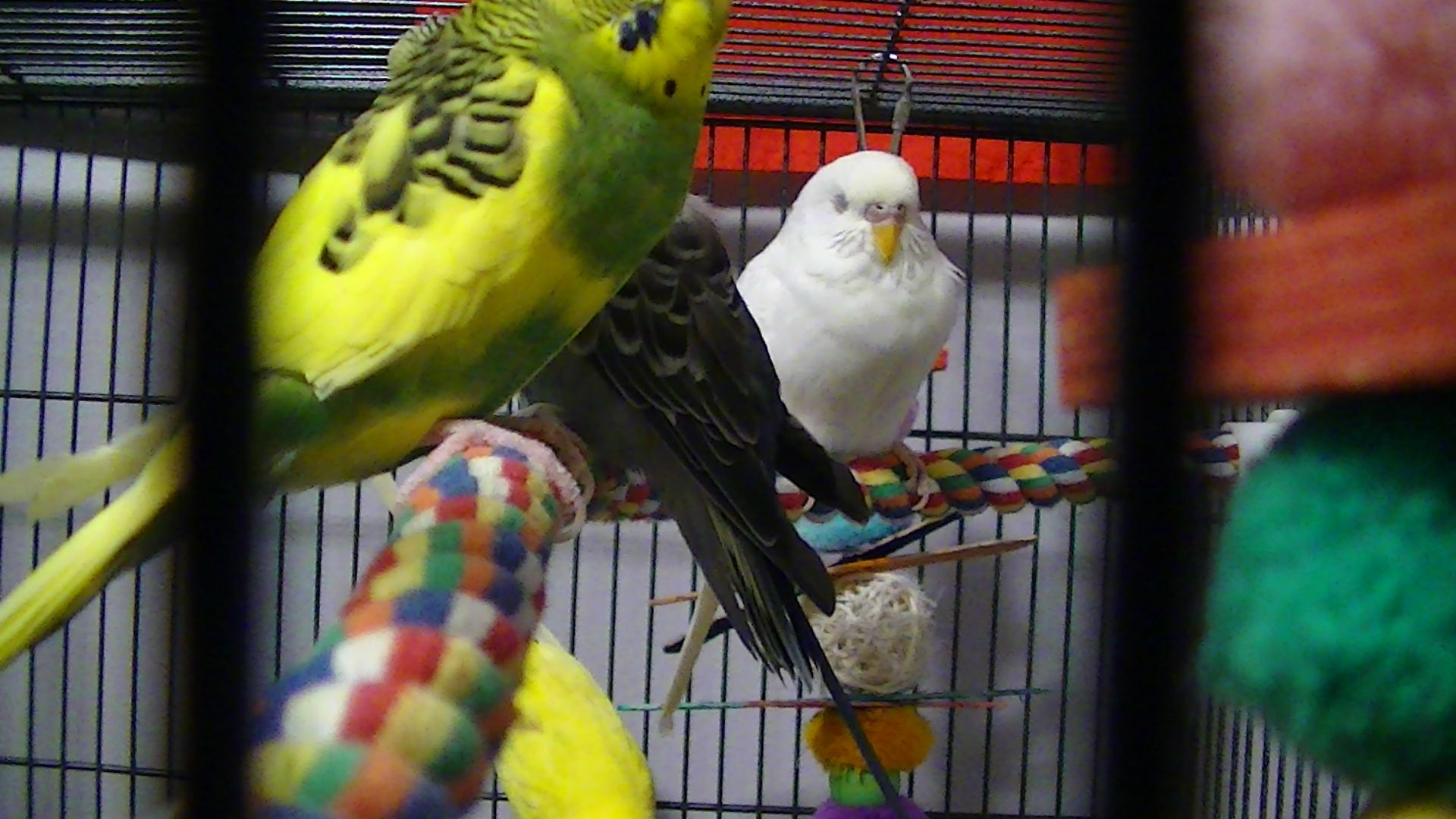 #sleepybudgies  #cutebudgie
