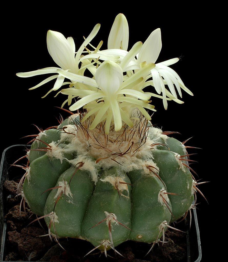 Discocactus Pugionacanthus2 Cactos Cactos E Suculentas