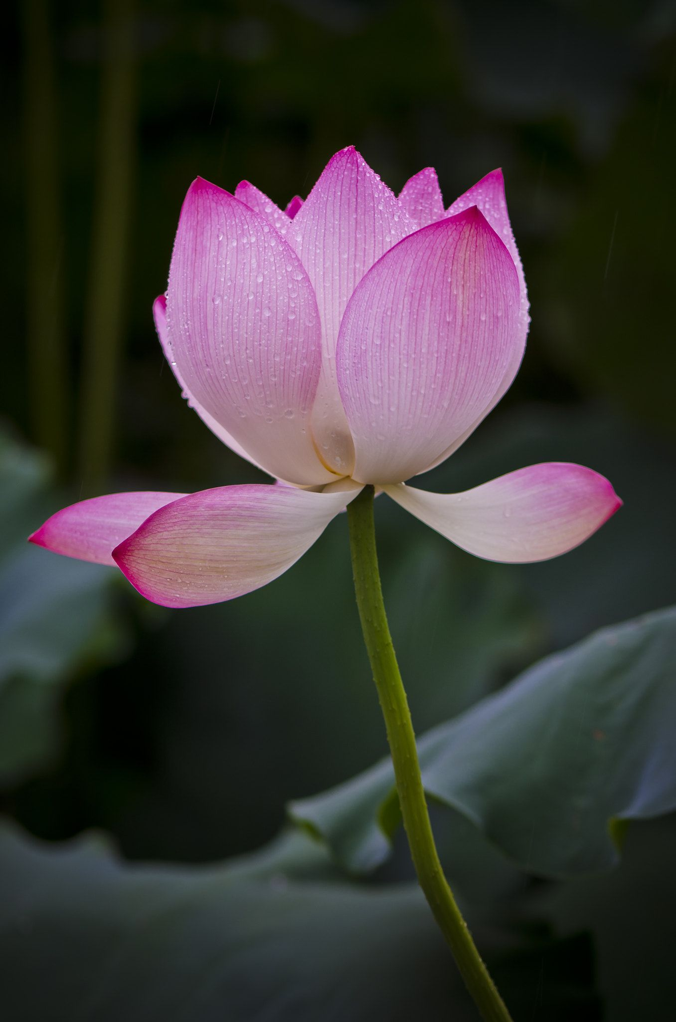 Lotus a lotus grows in the mud have a lovely day a hrefhttps lotus izmirmasajfo Image collections