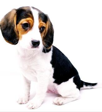 Beaglier Puppy For Sale In Canoga Park Ca Adn 63715 On Puppyfinder