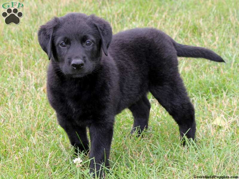 Newfoundland And Pitbull Mix Lab Mix Puppies Beagle Mix Puppies Labrador Dog Pictures