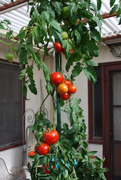 Growing Tomatoes In Pots Carmello