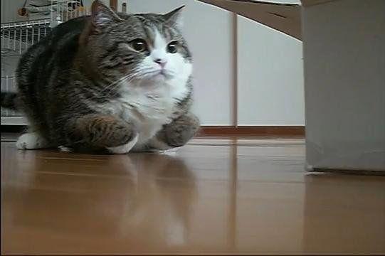 Japon kedisi Maru'ya aşığım. youtube'daki tüm videolarını izledim. yolum oralara düşerse Maru'yu çantama tıkıştırıp getirebilirim evime. sı...