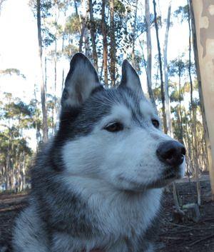 Siberian Huskies In Australia Dogs Siberian Husky Husky