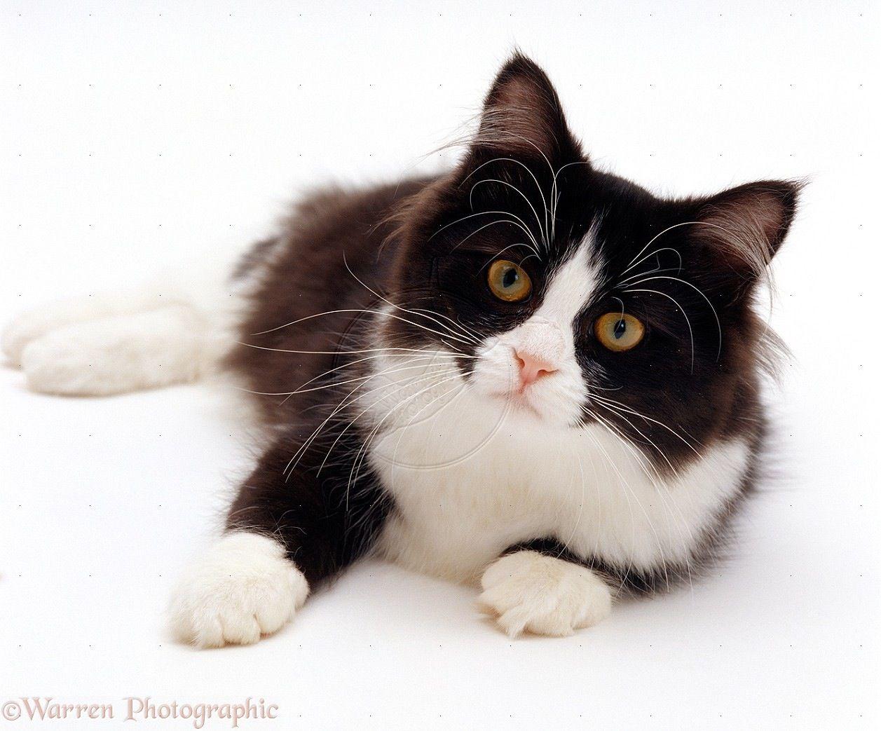 Black White Tuxedo Kitten White Cats Cats Pretty Cats