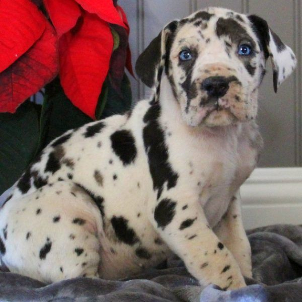 Alison Great Dane Puppy For Sale In Pennsylvania Great Dane