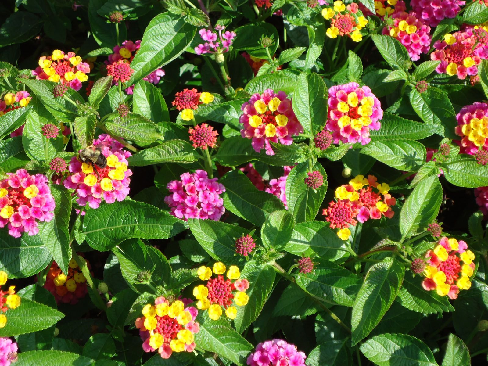 Lantana 47 Fh Wonderful Flowers Lantana Plants