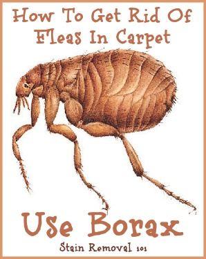 Uses For Borax Around Your Home Borax Uses Home Remedies For Fleas Fleas