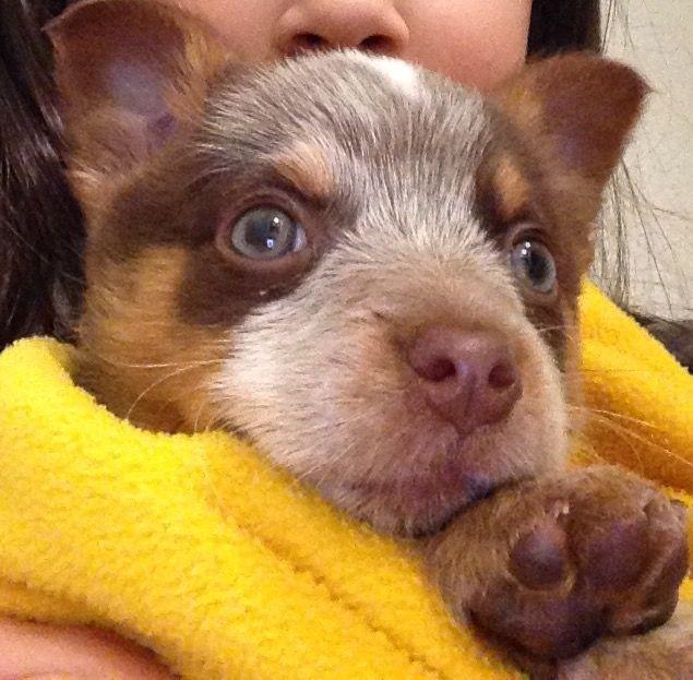 Chocolate Queensland Heeler Puppy Cute Animals Pet Dogs