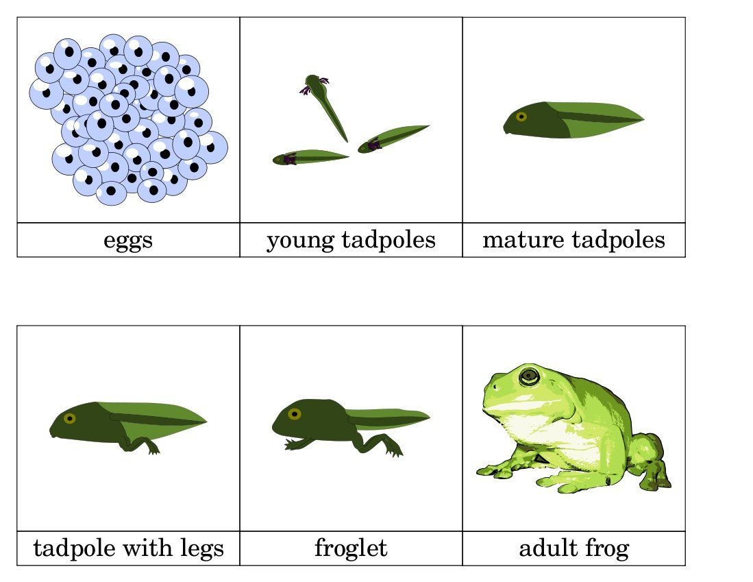 life cycle of a frog Life cycles: butterflies, frogs, and plants powered by create your own unique website with customizable templates get started.